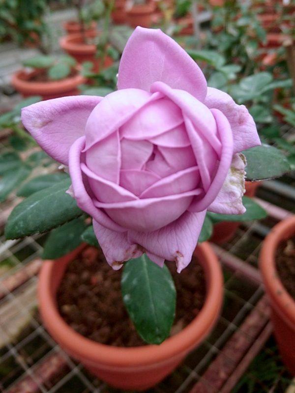 'Kinda Blue' Rose Cupped Bloom Form » Rose Plants