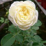 'Kronprinsesse Mary' Rose