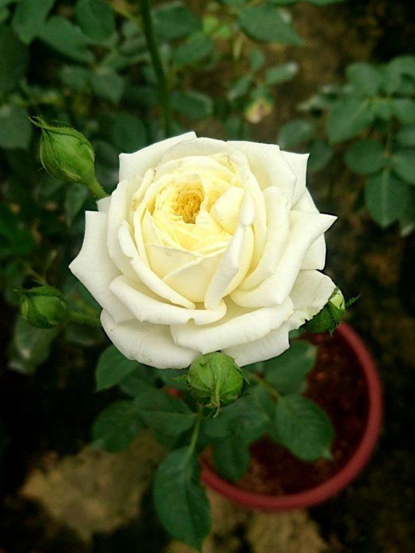 Rosa 'Kronprinsesse Mary' » Rose Plants