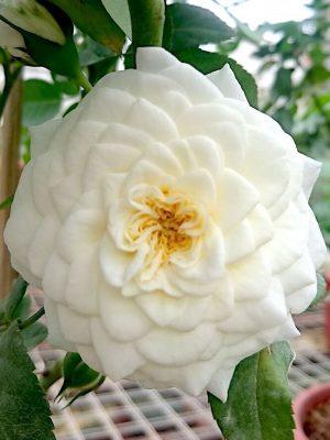 'Lady Romantica' Rose