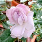 'Lapis Lazuli' Rose