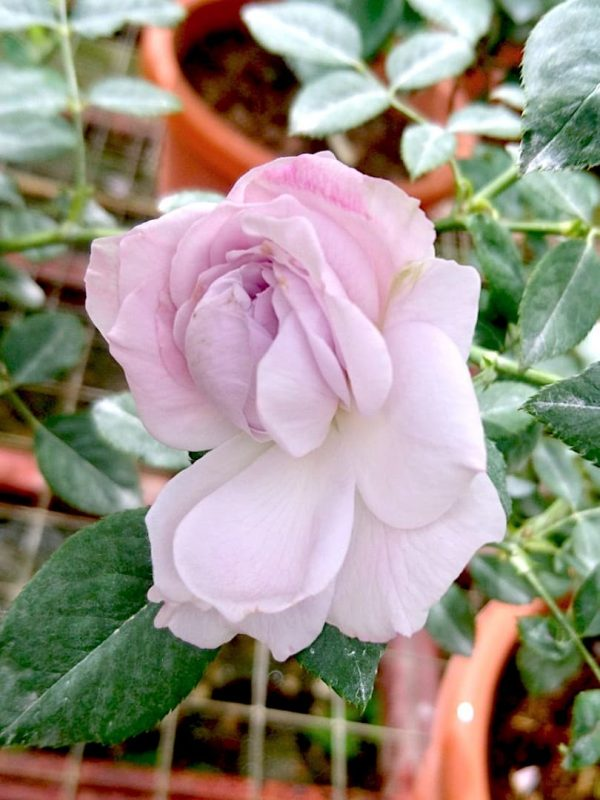 Japanese Rose 'Lapis Lazuli' Blooming » Rose Plants