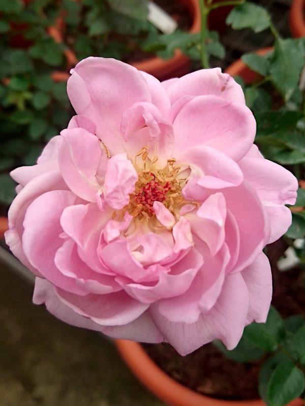 Rosa 'La Rose du Petit Prince' » Rose Plants