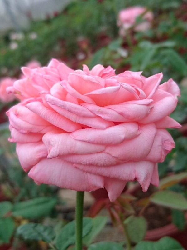 'London Eye' Rose Sideview » Rose Plants