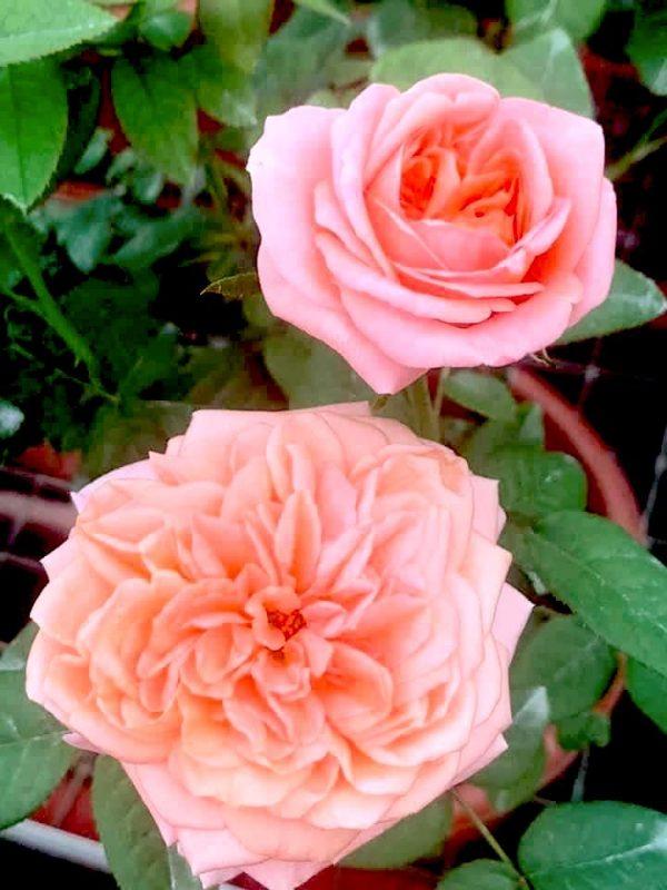 'London Eye' Roses » Rose Plants