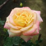 'Love and Peace' Rose