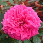'Love Maze' Rose