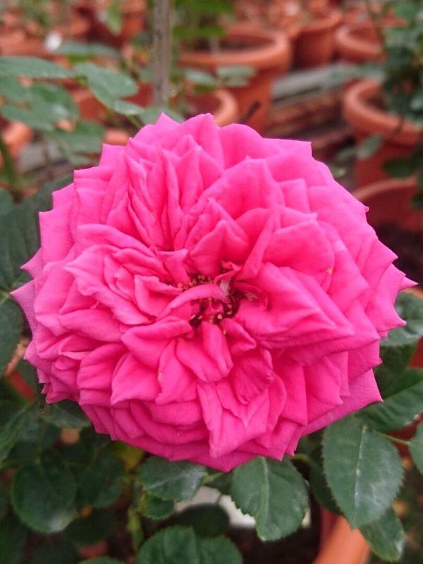 'Love Maze' Rose » Rose Plants