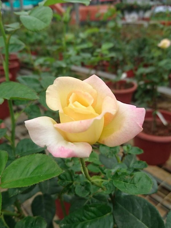 Rosa 'Love and Peace' » Rose Plants