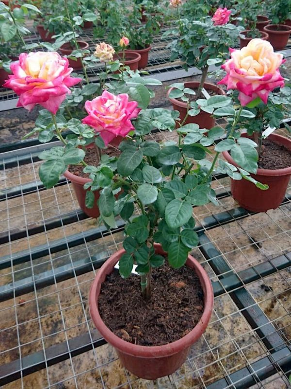 'Love and Peace' Rose Plant » Rose Plants
