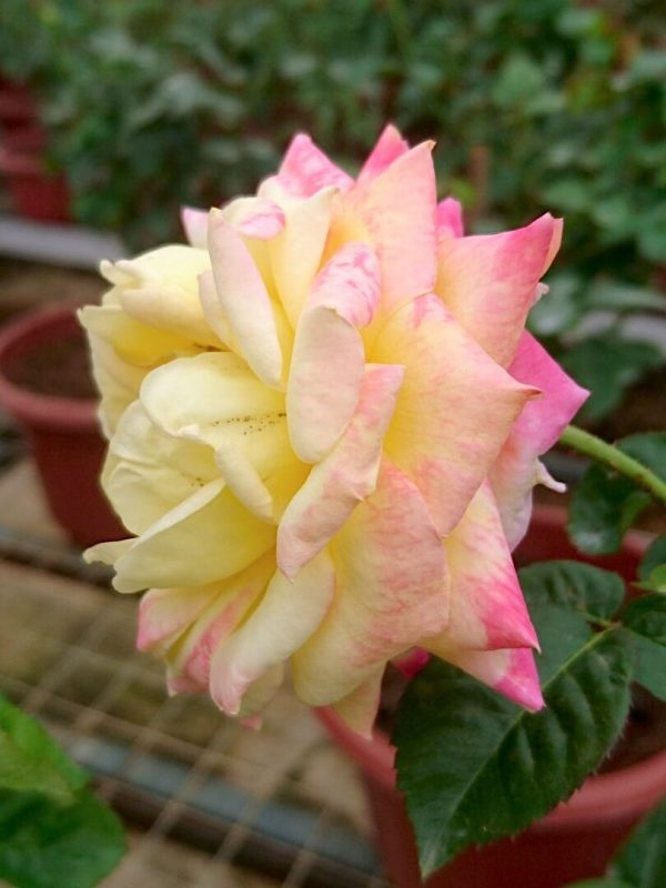 Rosa 'Love and Peace' Sideview » Rose Plants