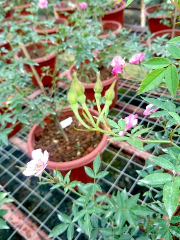 'MACSpice' Rose Buds » Rose Plants