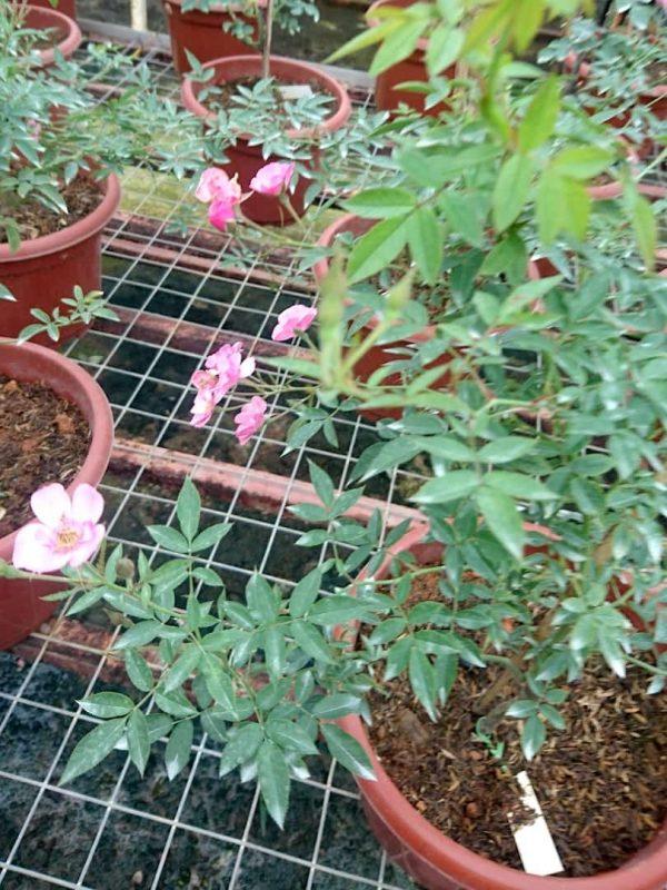 'MACSpice' Rose Plant » Rose Plants