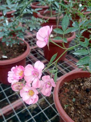 'MACspice' Rose