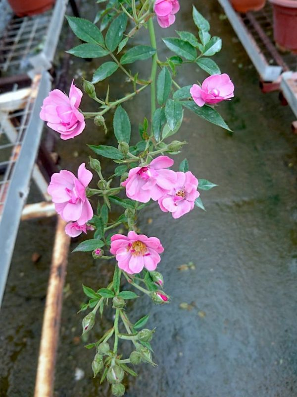 'MACSpice' Roses » Rose Plants