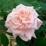 'Majestic' Rose