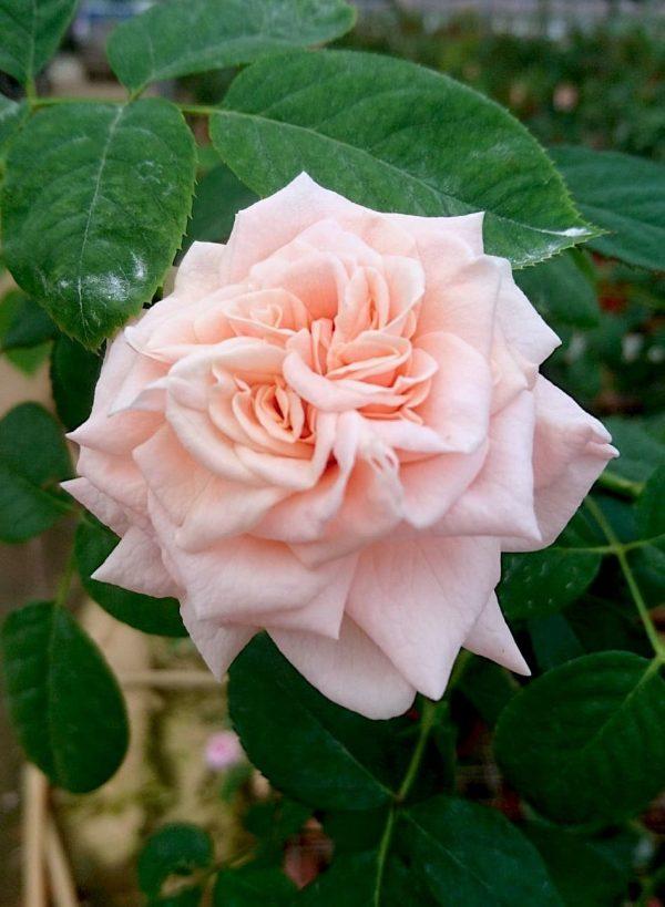 'Majestic' Rose » Rose Plants