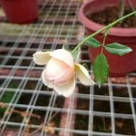 Japanese Rose 'Masora' Blooming » Rose Plants