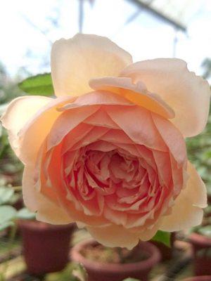 'Masora' Rose