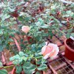 Japanese Rose Plant 'Masora' » Rose Plants