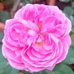 'Memories' Rose