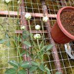 'Mini Eden' Rose Buds