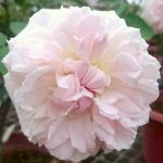 'Miranda' Rose