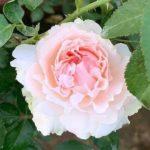Rosa 'Miranda' » Rose Plants