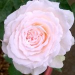 Rosa 'Miranda' with Greenish Edge » Rose Plants