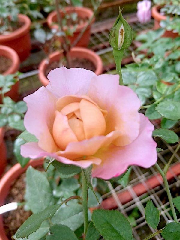 Japanese Rose 'Miyabi Cha' » Rose Plants
