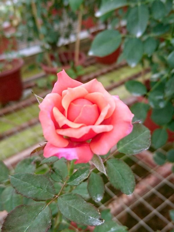 Japanese Rose 'Miyabi' Blooming » Rose Plants