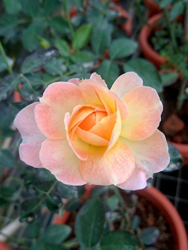Japanese Rose Blooming 'Mon Chou Chou' » Rose Plants
