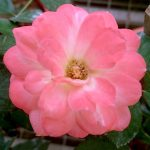 'Mon Chou Chou' Rose