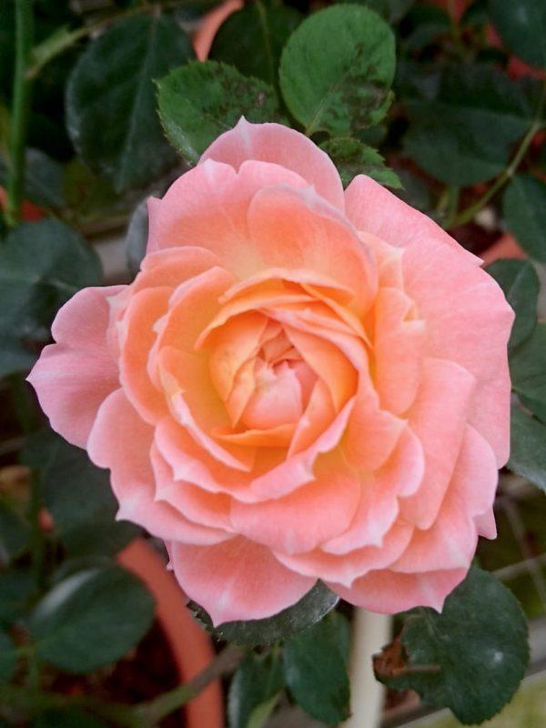 Japanese Rose 'Mon Chou Chou' » Rose Plants
