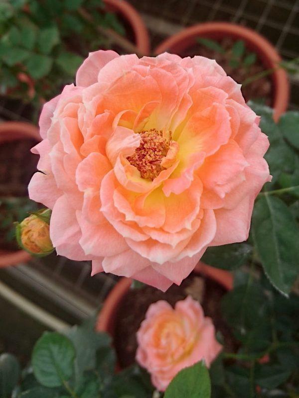 Japanese Roses 'Mon Chou Chou' » Rose Plants