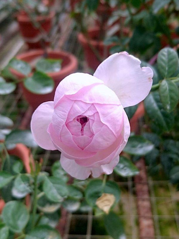 Japanese Rose 'Mon Coeur' Blooming » Rose Plants