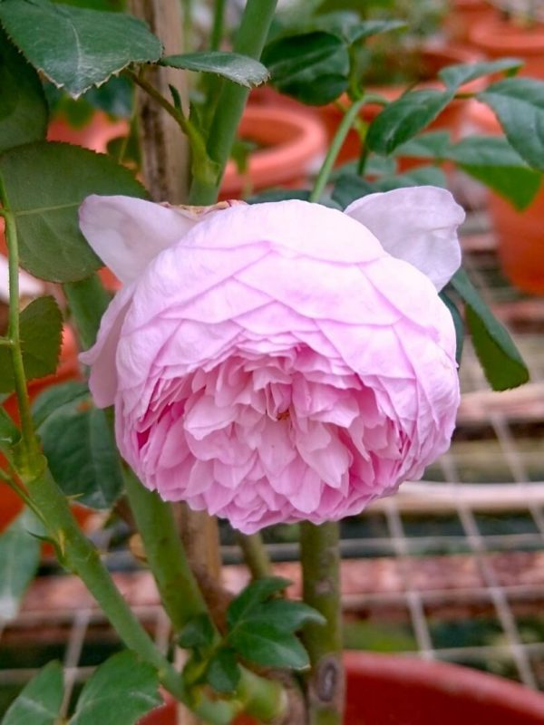 Japanese Rose 'Mon Coeur' Cupped Bloom Form » Rose Plants