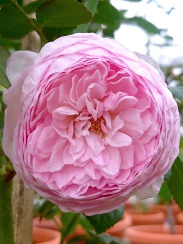Japanese Rose 'Mon Coeur' » Rose Plants