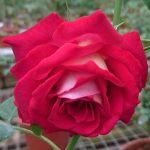 'Monica Bellucci' Rose