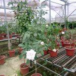 'Moonstone' Rose Tree