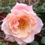 'Our Lady of Guadalupe' (OLOG) Rose