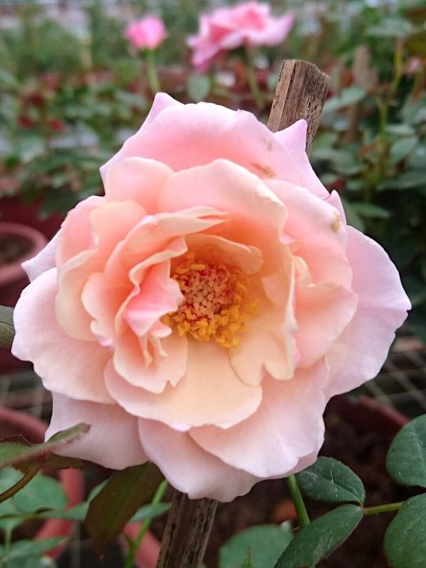 'Our Lady of Guadalupe (OLOG)' Rose Bi-Colour » Rose Plants