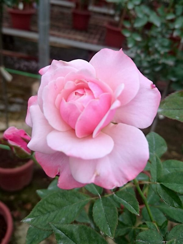 'Our Lady of Guadalupe (OLOG)' Blooming Rose » Rose Plants