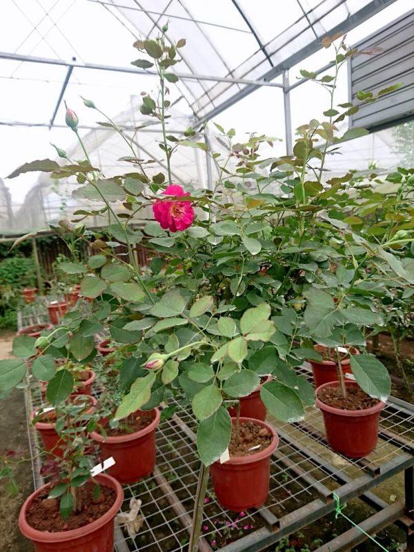 'Orfeo' Rose Tree