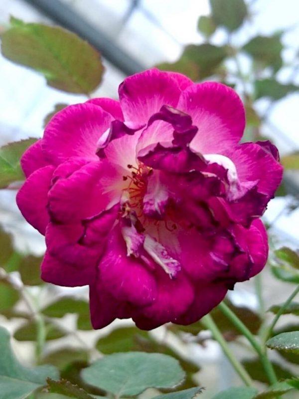 'Orfeo' Rose