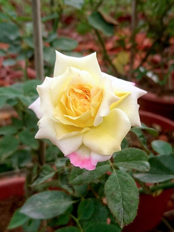Rosa 'Party Time' Blooming » Rose Plants