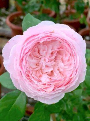 'Pink Charm' Rose