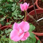 'Pink Simplicity' Rose