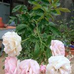 'Pink Summer Snow' Rose Cluster » Rose Plants