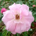 'Pink Summer Snow' Rose